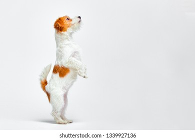 Jack Russell Terrier standing on its hind legs on a white background, copy space