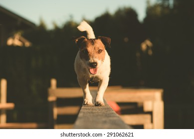 Jack Russell Terrier walking on a beam