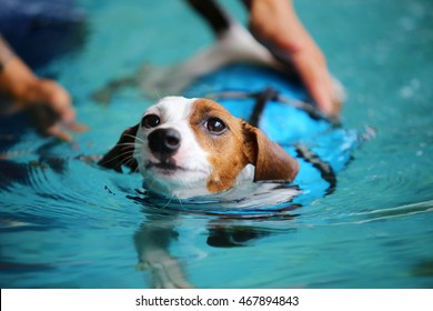 Jack russell terrier wear life jacket swim in swimming pool, dog swimming