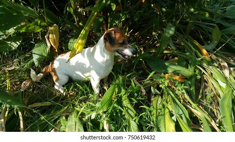 jack russell terrier in Wild grass