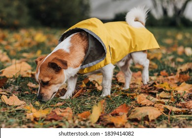 Jack Russell Terrier in a yellow raincoat walks through the autumn park. The dog walks in the autumn leaves and sniffs the ground