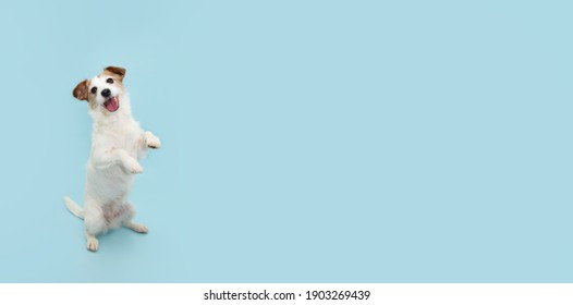 Jack russell trick. Dog sitting on hind legs begging behaviour. Isolated on blue background.