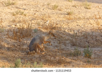 The jackal with broken front leg sitting in desert Negev