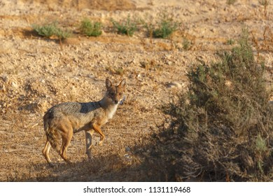 The jackal with broken front leg standing front of photographer