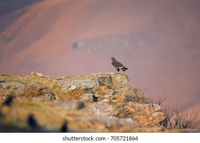 Jackal Buzzard, Buteo rufofuscus, african bird of prey in its natural environment, lit by early morning sun, perched on rocky cliff against far slopes of Drakensberg mountains, South Africa.