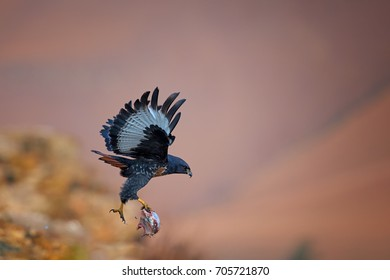 Jackal Buzzard, Buteo rufofuscus, african bird of prey flying with prey in its claws.