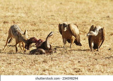 Jackal eats the remains of a Wildebeast with vultures on the Masai Mara National Reserve safari in southwestern Kenya.