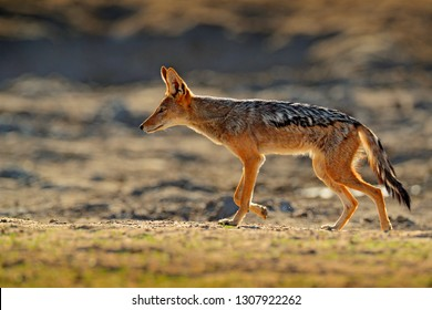 Jackal and evening sunlight. Black-Backed Jackal, Canis mesomelas mesomelas, portrait of animal with long ears, Tanzania, South Africa. Beautiful wildlife scene from Africa with nice sun light.