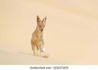 Jackal running on the sand dune in the Namib desert. Hot day in sand, animal from Namibia, Africa, black-backed jackal behaviour. Wildlife scene from nature.
