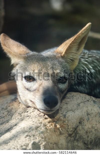 jackal wake up