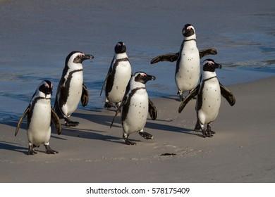 Jackass Penguins at Boulders Beach