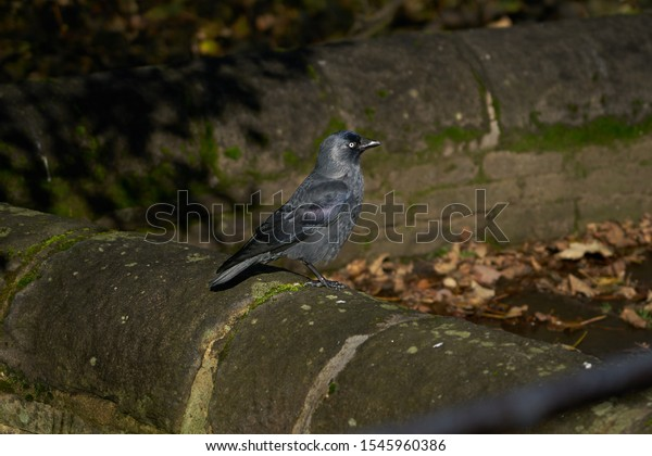 Jackdaw Bird Perched on a Wall