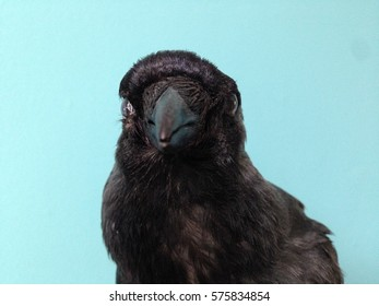Jackdaw close up isolated against a blue background, taxidermy specimen,  looking head on, against a blue background with copy space