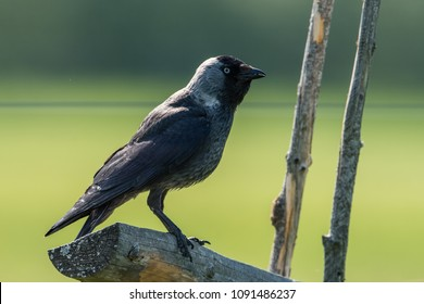 Jackdaw (Corvus monedula) on the old roundpole fence is a passerine bird in the crow family. Here in Uppland,