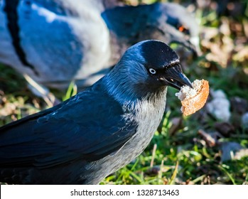 jackdaw with a crumb of bread in its beak