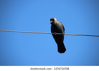 Jackdaw looking down from an electricity cable of a tram in Voorburg the Netherlands