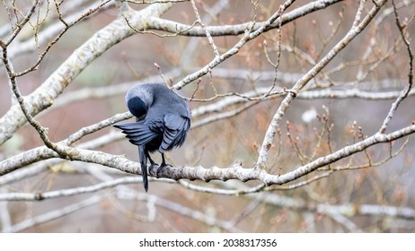 Jackdaw preening itself in light rain perched on a branch with spring buds and soft spring colours in the background