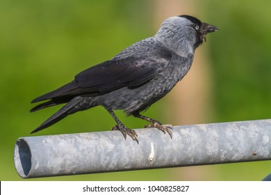 A Jackdaw is searching for fodder