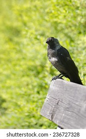 A jackdaw sitting on a bench with green bushes in the background.