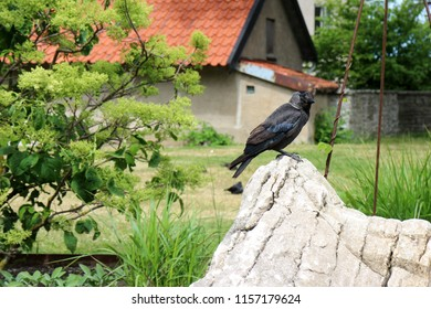 A jackdaw is sitting on a boulder in the city park Almedalen in Visby, Gotland, Sweden. City bird life.