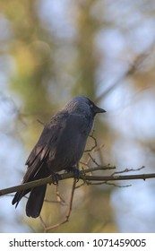 A jackdaw is sitting on a branch