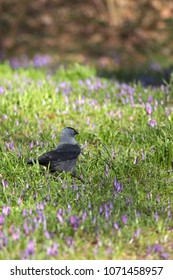 A jackdaw standing on the grassland covered with purple crocuses