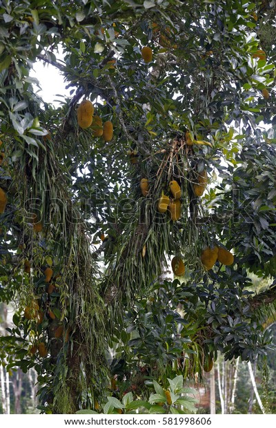Jackfruit, Artocarpus heterophyllus, fruit of the Moraceae family native to Asia and largely grown and appreciated in Brazil
