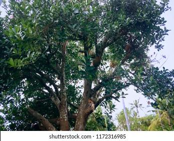 Jackfruit Artocarpus Heterophyllus Tree In The Plant Fields At Ringdikit Village, North Bali, Indonesia