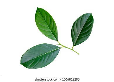 jackfruit leaf, tropical green foliage isolated on white background with clipping path