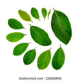 Jackfruit leaves isolated on a white background
