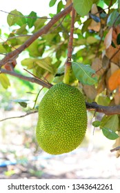 Jackfruit on tree.