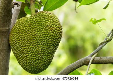 a jackfruit on the jackfruit tree