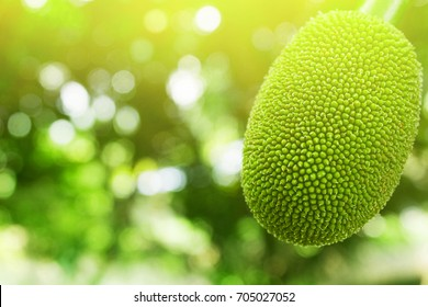 Jackfruit On the tree and young in phuket Thailand, Jackfruits Artocarpus heterophyllus
