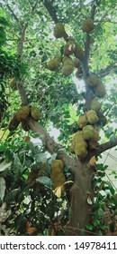 jackfruit plant , jackfruit tree, jackfruit