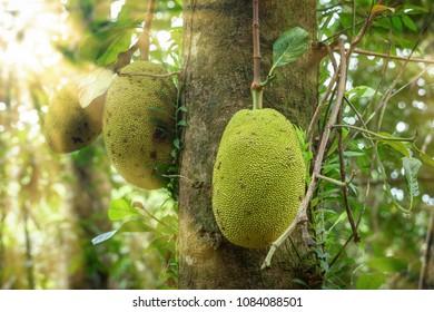 jackfruit in the rainforest Sinharaja, Sri Lanka