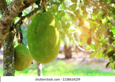 Jackfruit Tree and Big Jackfruits, Natural background. Fruits concept.