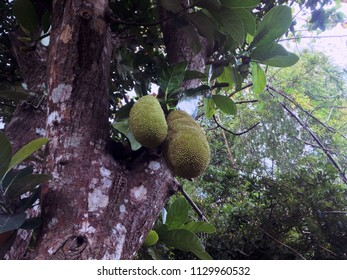 Jackfruit Tree And Its Fruits In The Plant Field