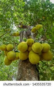 Jackfruit tree with lots of jackfruits hanging. Jackfruit,tree,nature and healthy food concepts
