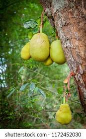 Jackfruit tree with plants fenne (Artocarpus heterophyllus) growing in a tropical Jackfriut garden in Sri Lanka.