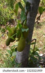 Jackfruit Tree and young Jackfruits