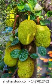 Jackfruit Tree and young Jackfruits (Artocarpus heterophyllus). Jackfruit is Delicious sweet fruit.