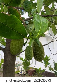 Jackfruit trees are sacred wood and jackfruit can still be eaten.
