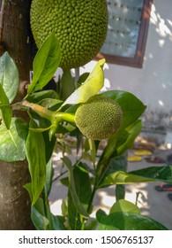 Jackfruit trees and young jackfruit (Artocarpus heterophyllus). Jackfruit is a delicious sweet fruit.