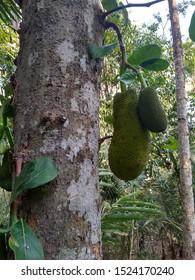 Jackfruit Trees And Young Jackfruit (Artocarpus Heterophyllus). Jackfruit Is A Delicious Sweet Fruit - Image
