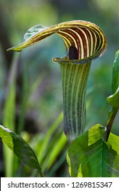 """Jack-in-the-pulpit flower (Arisaema triphyllum) backlit by early morning sun. The flower's hood-like """"pulpit"""" is the spathe, while the """"Jack"""" is the spadix--a cluster of tiny flowers beneath it."""