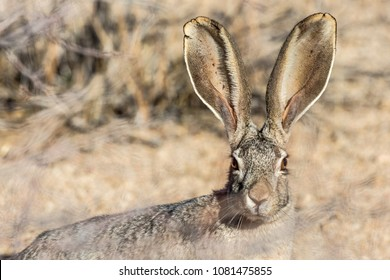 A jackrabbit in Joshua Tree National Park showing off it's enormous ears (southern California).