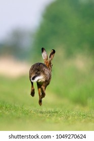 Jackrabbit running fleeing, running away