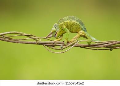Jackson's chameleon, Jackson's horned chameleon, or Kikuyu three-horned chameleon (Trioceros jacksonii ) is a species of chameleon (family Chamaeleonidae) native to East Africa