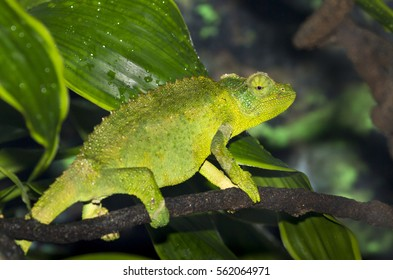 Jackson's horned chameleon, or Kikuyu three-horned chameleon (Trioceros jacksonii )