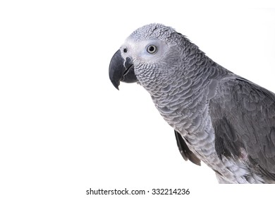 Jaco or african gray parrot in home